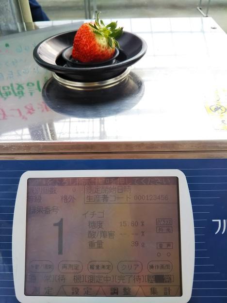 がっこうのイチゴ園財田上 糖度計でいちごを測る