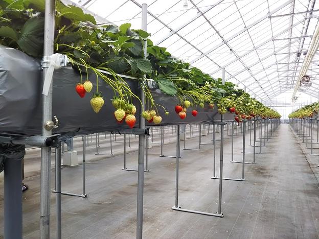 がっこうのイチゴ園財田上 長いいちごの棚