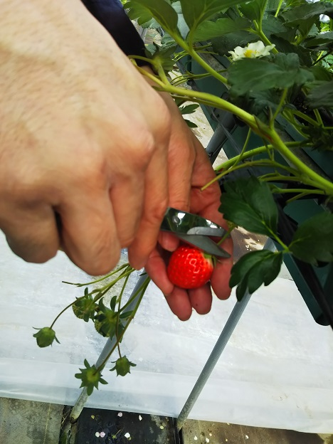 いちごハウスやぶき イチゴの取り方