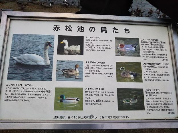 みやま公園 赤松池の鳥