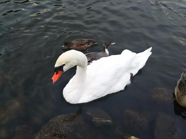 みやま公園 白鳥