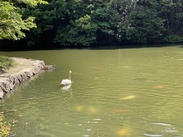 深砂池白鳥