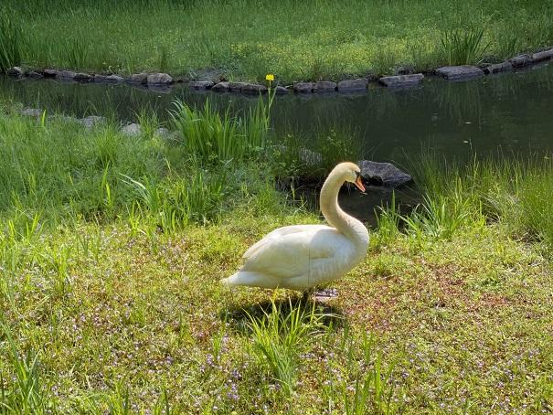 深砂池白鳥の足