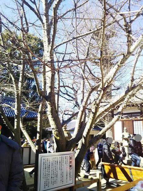 八栗寺 菩提樹2