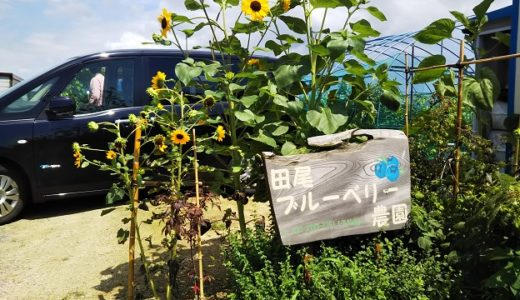 田尾ブルーベリー農園 三豊市でブルーベリー狩り体験