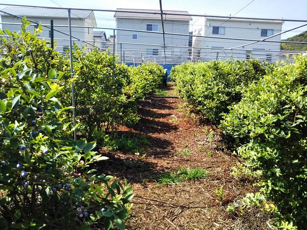 ブルーベリー畑摘み取り園の木