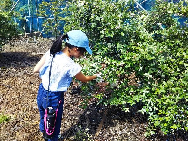 ブルーベリー畑摘み取り園収穫