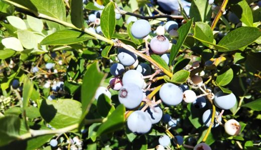 小西さん家のブルーベリー畑摘み取り園で食べ放題 高松市