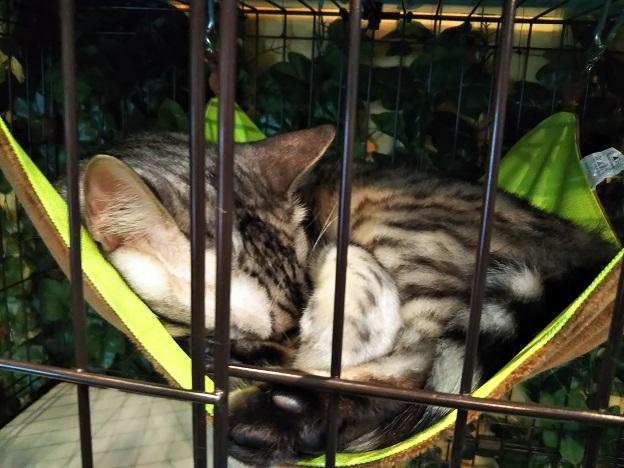 ヒョウ猫の森 猫4
