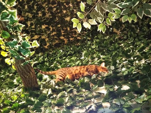 ヒョウ猫の森 猫2