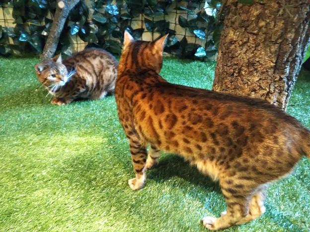 ヒョウ猫の森 ヒョウ猫
