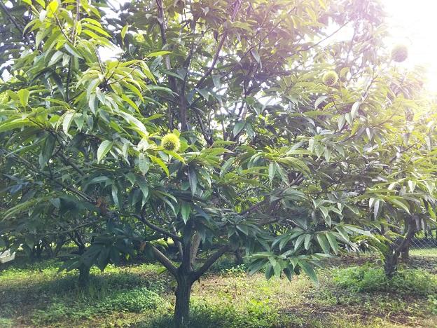 はっきり農園 栗の木