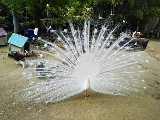渋川動物公園 白孔雀