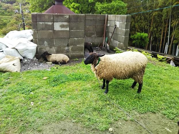 渋川動物公園 羊