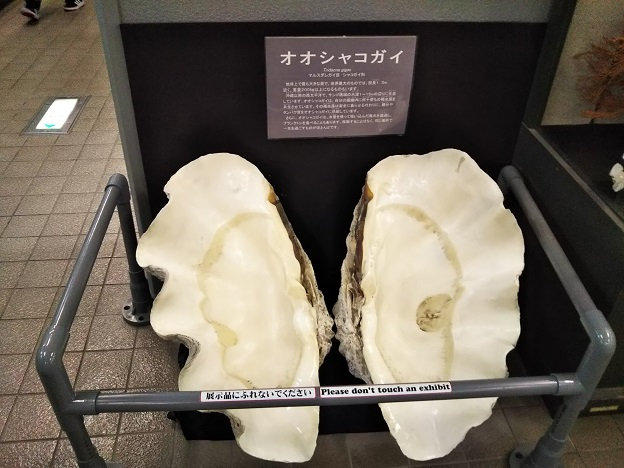 渋川マリン水族館 大シャコガイ
