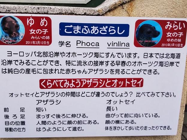 渋川マリン水族館 ごまふあざらし1