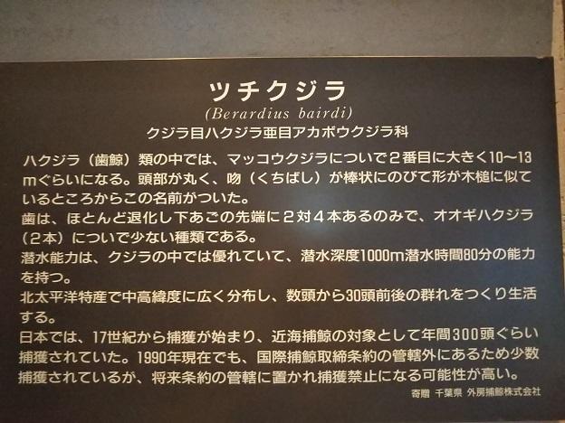渋川マリン水族館 ツチクジラ説明