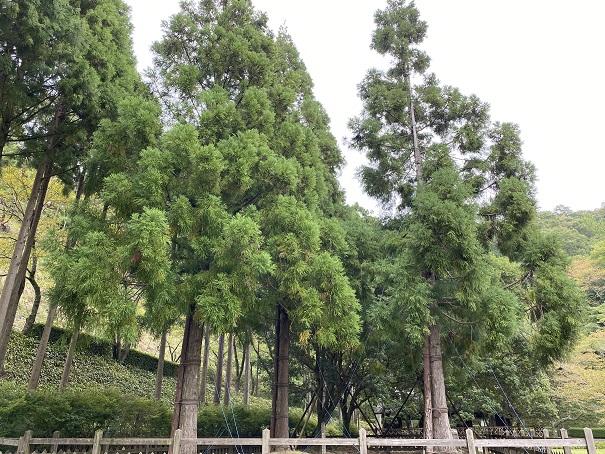 記念広場の木