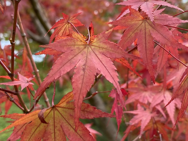 もみじの木の紅葉