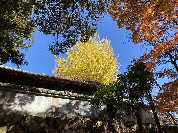 大窪寺銀杏の紅葉