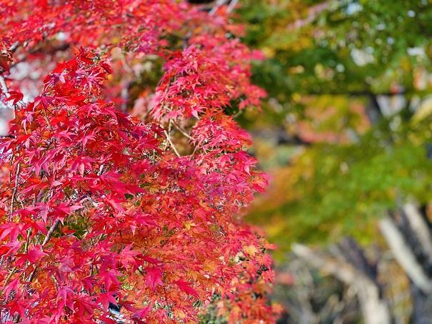 大窪寺の赤の紅葉と緑の葉
