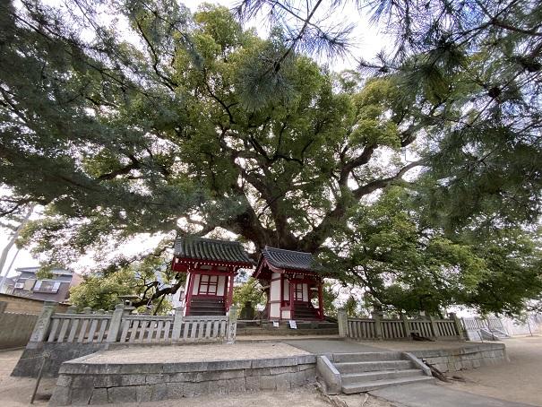 大楠(五社明神社)