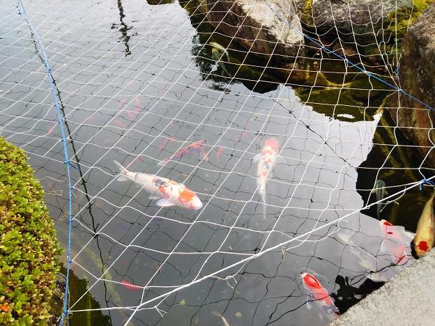 池では鯉や金魚が泳ぐ