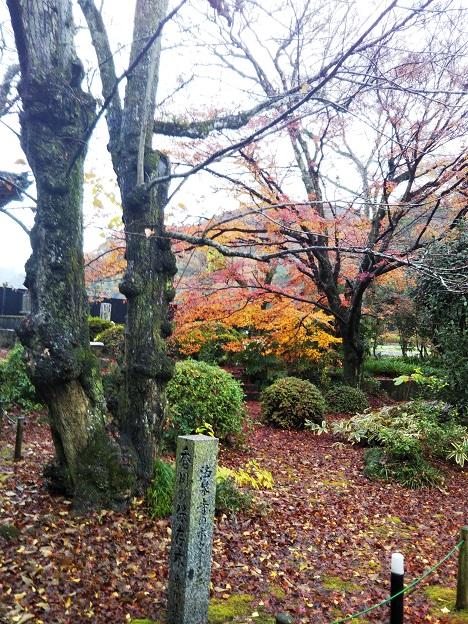 法泉寺 香川の保存木