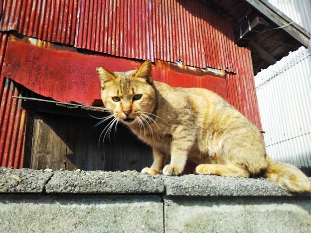 男木島 猫4