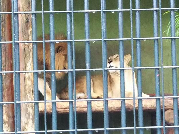 わんぱーくこうちアニマルランド ライオン