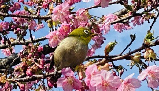 吉津の河津桜 早咲きの桜 メジロが蜜を吸いに 三豊市三野町
