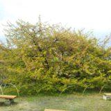 吉津の河津桜