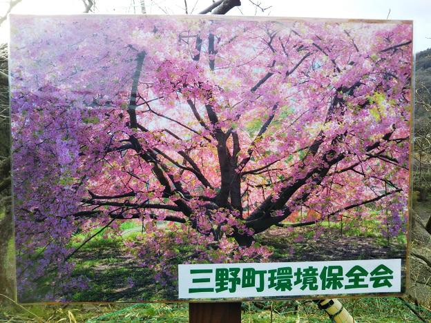 吉津 河津桜 写真
