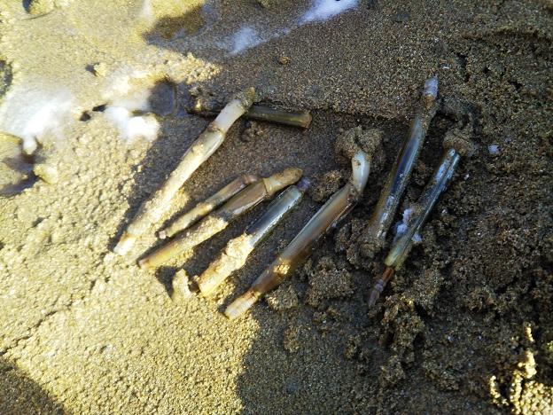 有明ふれあい海岸 マテ貝一度にとれた