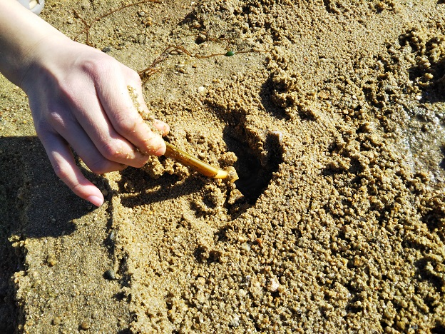 よしうみバラ公園 マテ貝採る
