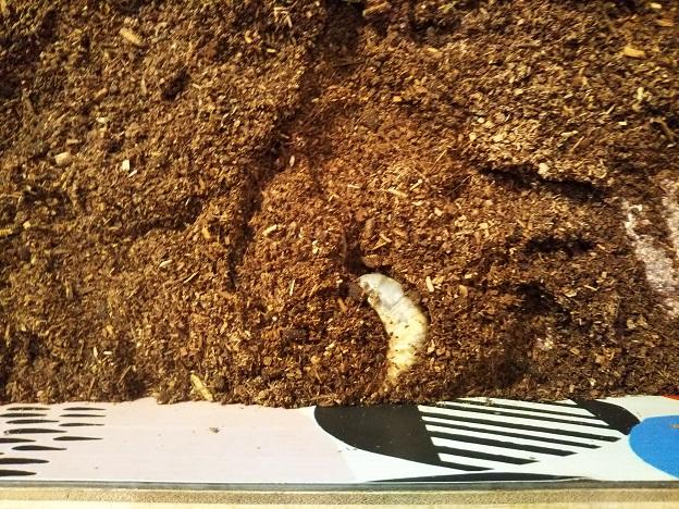 宮島水族館 カブトムシの幼虫