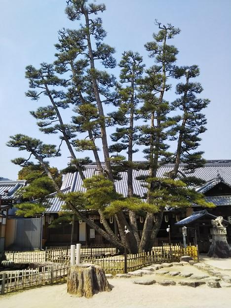 大願寺の九本松