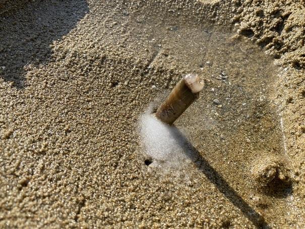 マテ貝が穴から出てくる