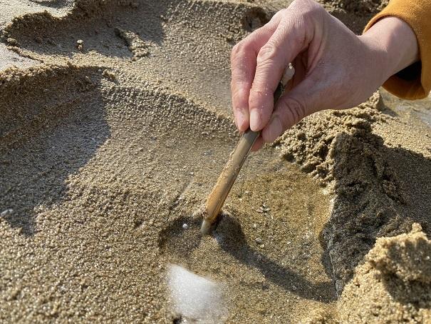 マテ貝を穴から引き抜く