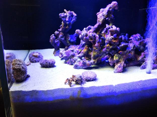 四国水族館 サンゴの世界の景 フリソデエビ