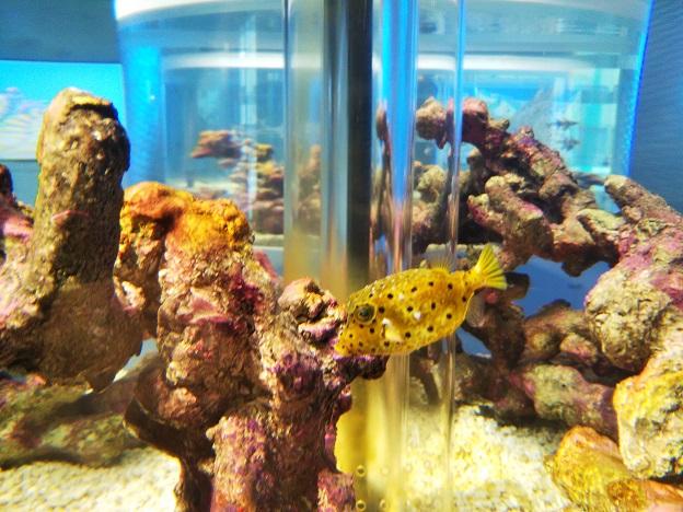 四国水族館 ミナミハコフグ