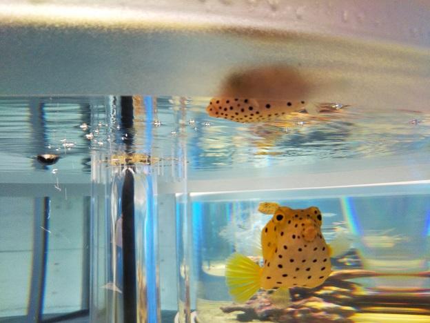 四国水族館 ミナミハコフグ真正面