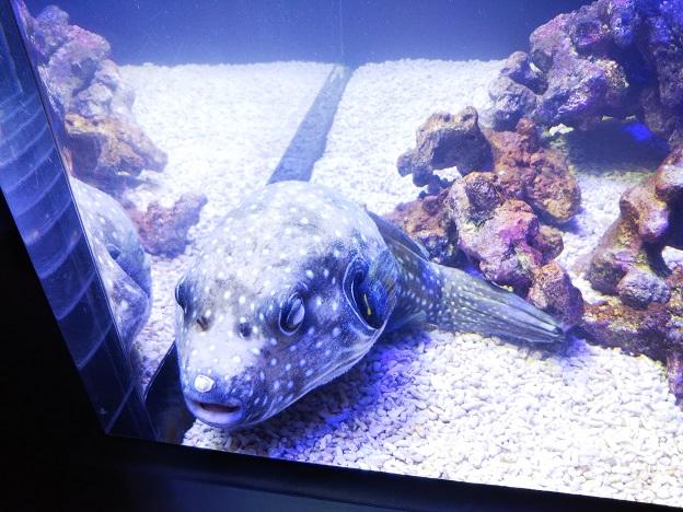四国水族館 サンゴの世界の景 ホンソメワケベラ