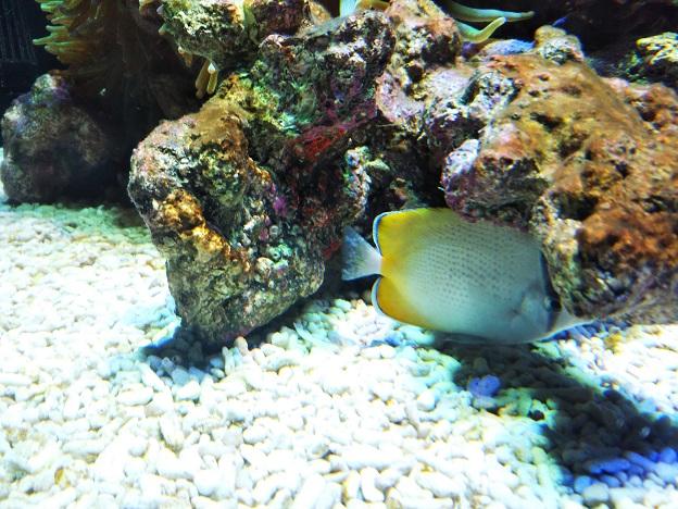 四国水族館 サンゴの世界の景 クマノミ