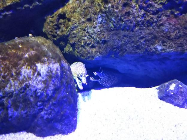 四国水族館 荒磯の景 トラウツボ2
