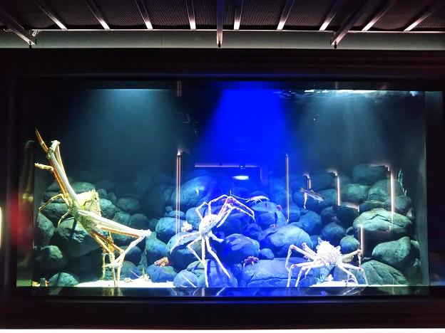 四国水族館 底魚の景 タカアシガニ