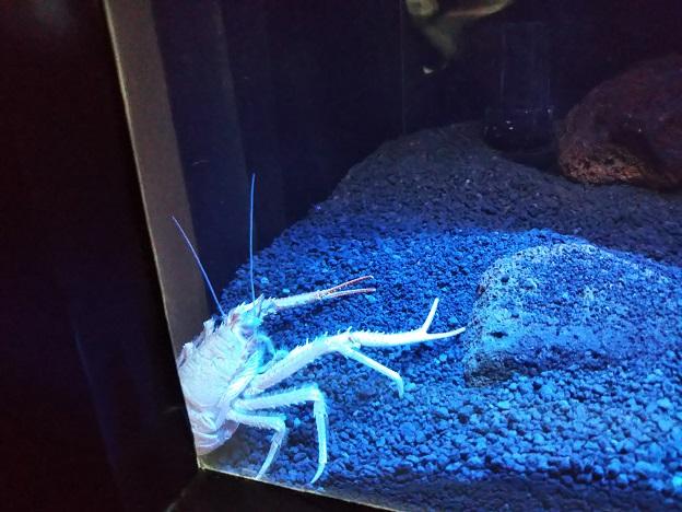四国水族館 深海底の景 オオコシオリエビ