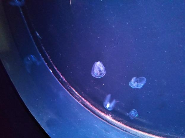 四国水族館 海月の景 チョウクラゲ