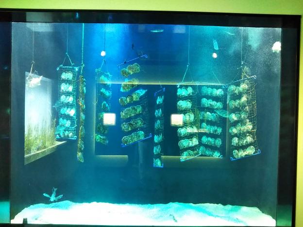 四国水族館 人魚の涙の景 アコヤガイ