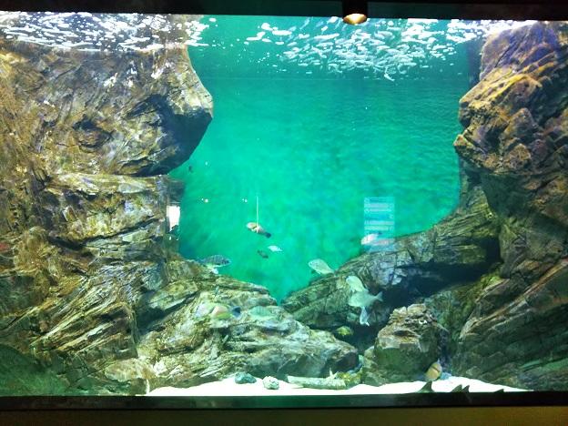 四国水族館 豊穣の海の景 カタクチイワシ